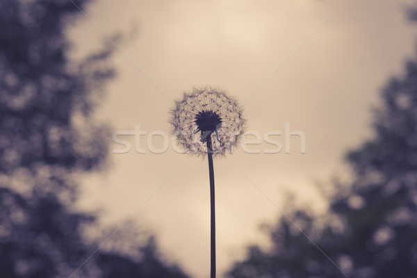 Dandelion on violet background Stock photo © Sportactive