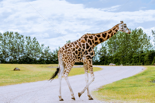 Giraffe walking over the road Stock photo © Sportactive