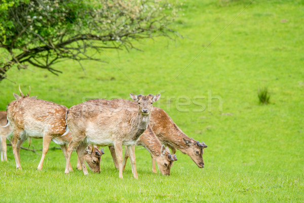 Deer herd on green grass Stock photo © Sportactive