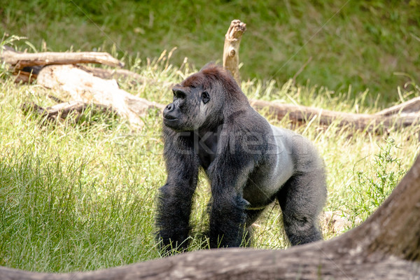 Big gorilla in the grass Stock photo © Sportactive