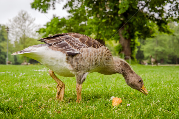 Goose searching for food Stock photo © Sportactive