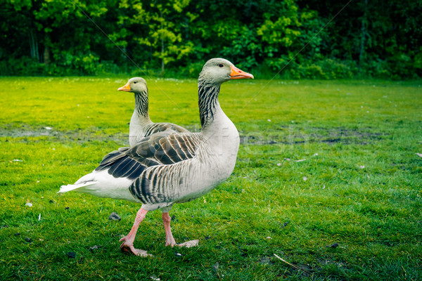 Two wild geese on grass Stock photo © Sportactive