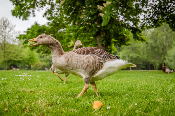 Wild geese in a park Stock photo © Sportactive