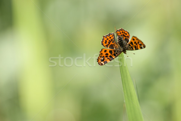 Araschnia levana butterfly on a green leaf Stock photo © Sportactive