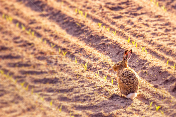Cute little hare in a kitchen garden Stock photo © Sportactive
