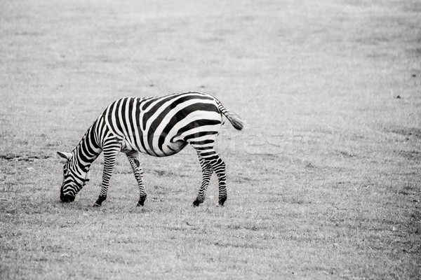 Zebra in black and white on grass Stock photo © Sportactive