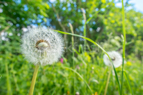 Dandelion flowers with seeds Stock photo © Sportactive