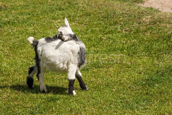 Young capra hircus goat on grass Stock photo © Sportactive