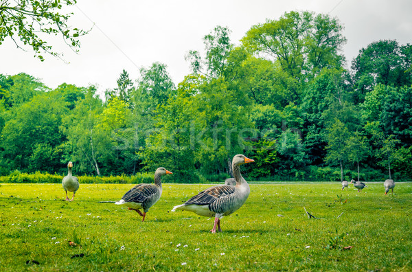Geese standing in a park Stock photo © Sportactive