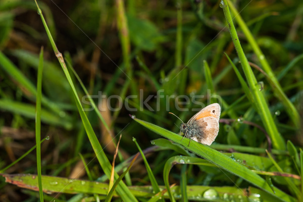 Coenonympha pamphilus butterfly on a leaf Stock photo © Sportactive