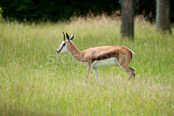 Springbok walking in green grass Stock photo © Sportactive