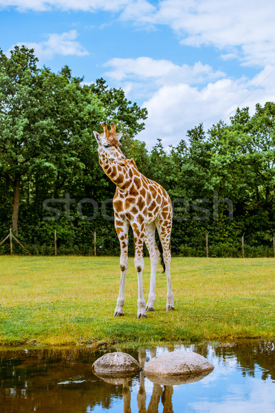 Thirsty giraffe looking into the water Stock photo © Sportactive