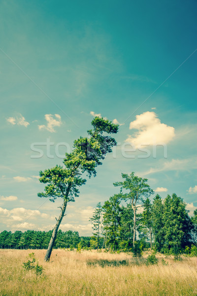 Tall pine tree on a dry field Stock photo © Sportactive
