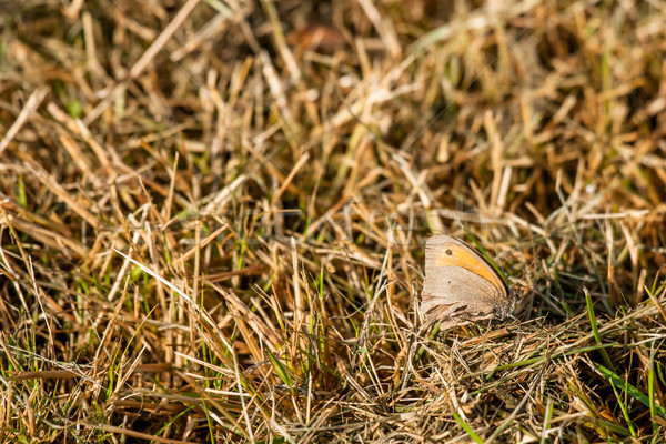 Maniola jurtina butterfly in the grass Stock photo © Sportactive