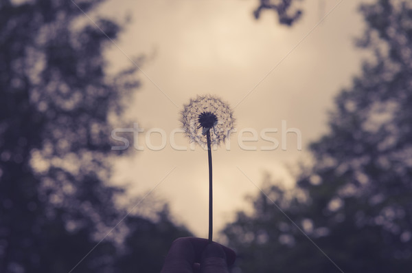 Hand holding a fluffy dandelion Stock photo © Sportactive