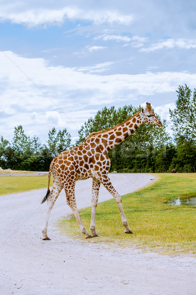 Giraffe walking on the road Stock photo © Sportactive