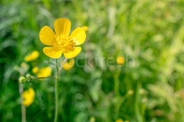 Buttercup flower in green nature Stock photo © Sportactive