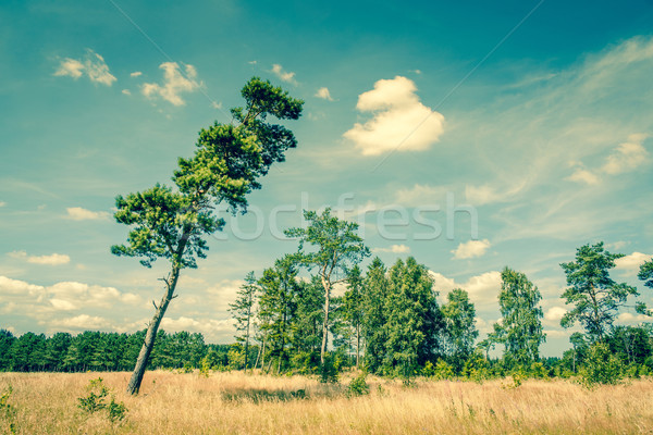 Landscape with a tall pine tree Stock photo © Sportactive