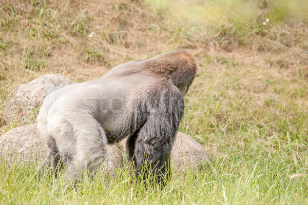 Hairy gorilla looking away Stock photo © Sportactive
