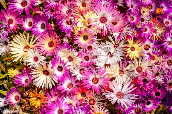 Carpobrotus edulis flowers in violet colors Stock photo © Sportactive