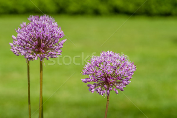 Allium Giganteum in a garden Stock photo © Sportactive