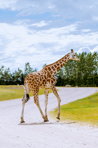 Lonely giraffe on the road Stock photo © Sportactive