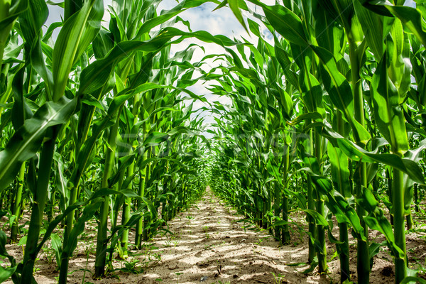 High corn crops on a row Stock photo © Sportactive