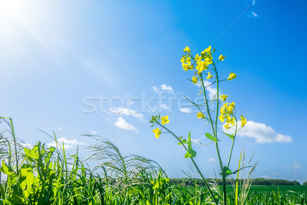 Canola flower in green grass Stock photo © Sportactive
