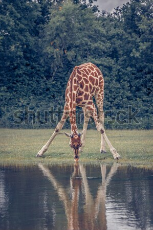 African giraffe drinking water Stock photo © Sportactive