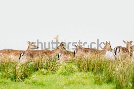 Szarvas nyáj legelő zöld fű szem Stock fotó © Sportactive