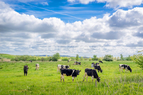 Holstein-Frieser cows on a field Stock photo © Sportactive