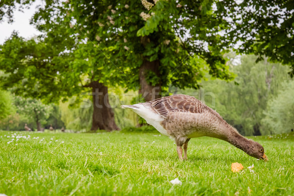 Young goose looking for food Stock photo © Sportactive