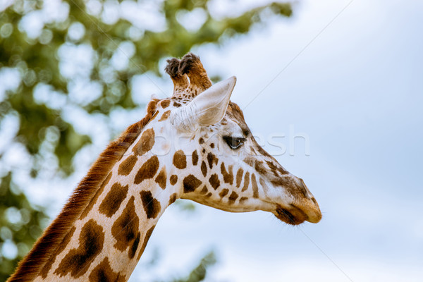 Giraffe with head in the trees Stock photo © Sportactive