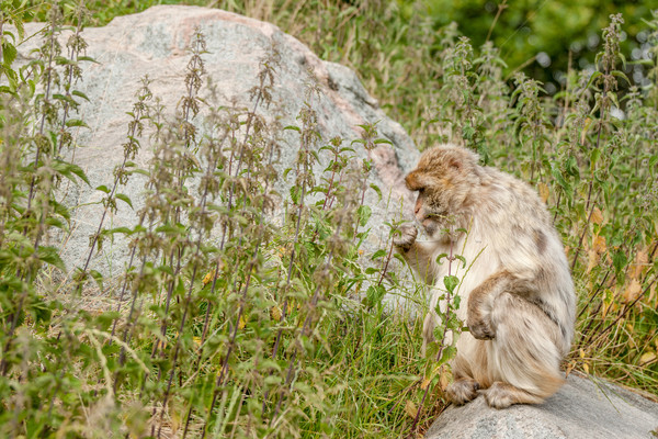 Berber monkey eating nettles on a rock Stock photo © Sportactive