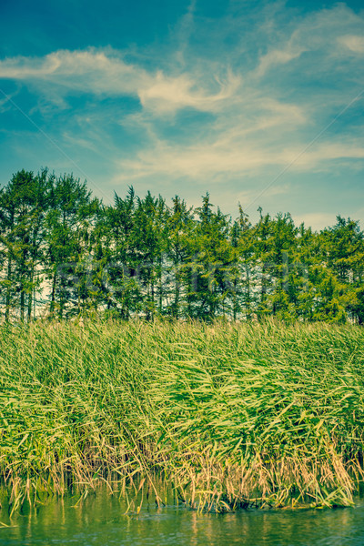 Rushes and pinetrees by the river Stock photo © Sportactive