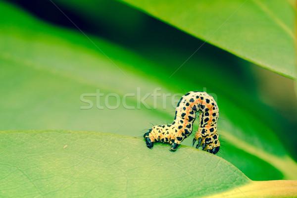 Stock photo: Erannis defoliaria caterpillar crawling
