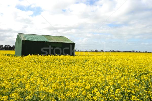 Verde sola prato fioritura fiori gialli Foto d'archivio © Sportlibrary