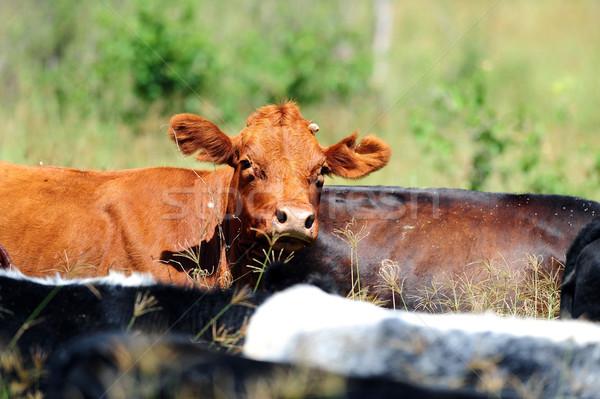 Vacche diverso stand erba verde mucca blu Foto d'archivio © Sportlibrary