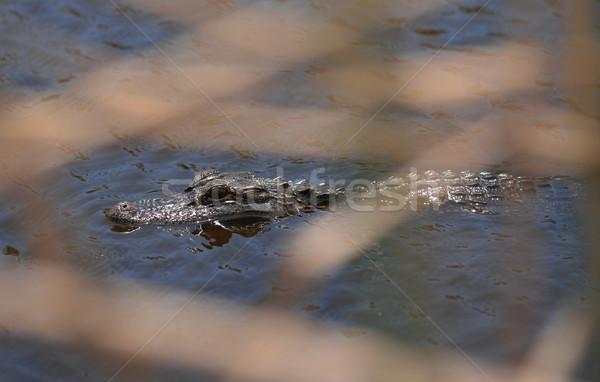 Jacaré lagoa Flórida atrás longo grama Foto stock © Sportlibrary