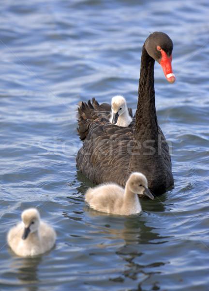 Swan famiglia baby nero chick acqua Foto d'archivio © Sportlibrary