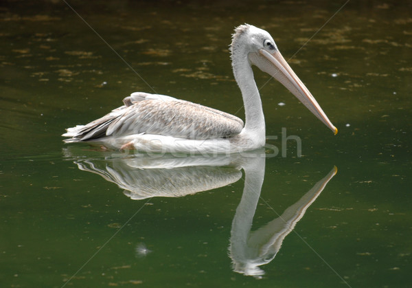 pelican Stock photo © Sportlibrary