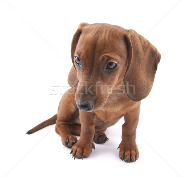 Tacskó kutyakölyök hónapok öreg portré fiatal Stock fotó © sqback