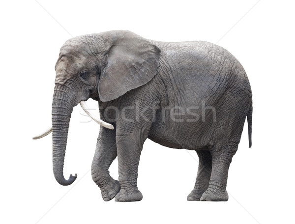 African elephant isolated on white with clipping path Stock photo © sqback