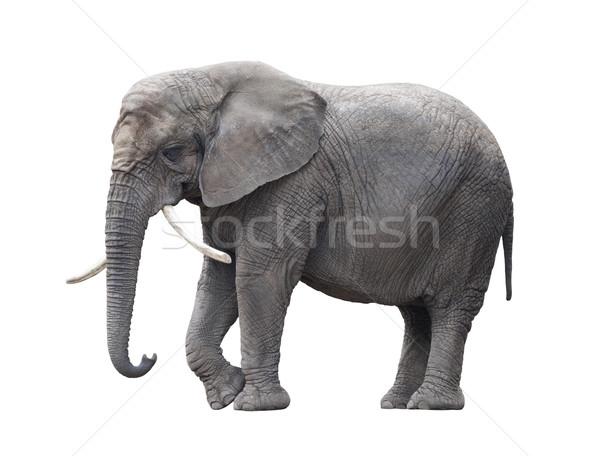 Elefante africano isolado branco Foto stock © sqback