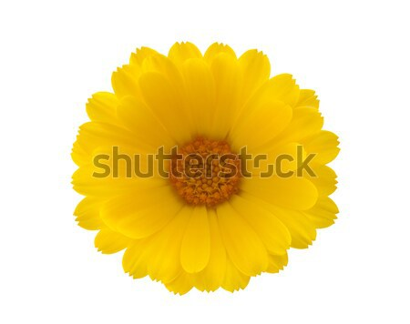 Yellow flower with clipping path Stock photo © sqback
