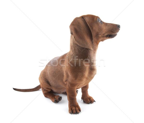 Tacskó kutyakölyök hónapok öreg kutya fiatal Stock fotó © sqback
