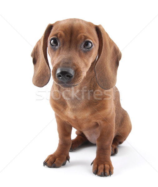 Tacskó kutyakölyök hónapok öreg portré vicces Stock fotó © sqback