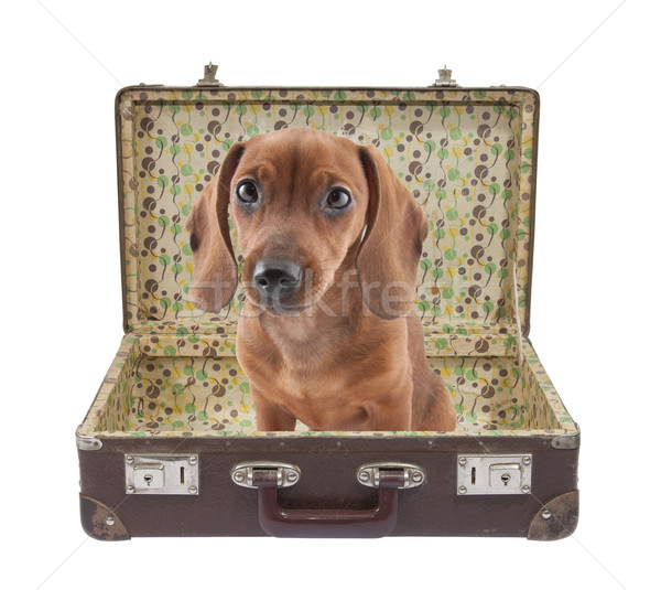 Dachshund puppy sits in vintage suitcase Stock photo © sqback