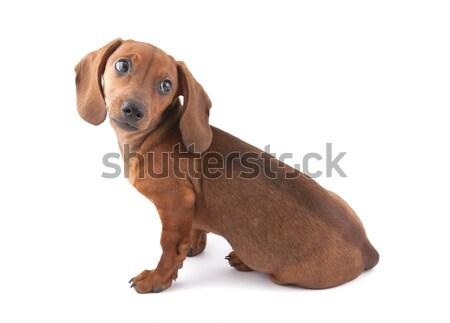 Dachshund cachorro meses edad perro jóvenes Foto stock © sqback