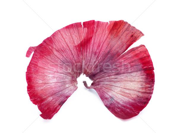 Vöröshagyma bőr szín kagyló minta ventillátor Stock fotó © sqback